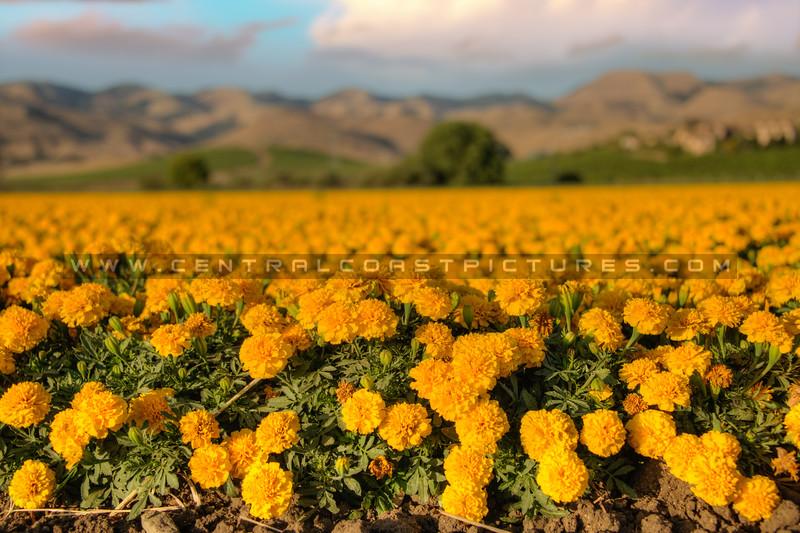 edna valley flower field 2724