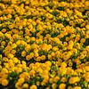 edna flower field 2760