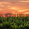 vineyard sunset-3271