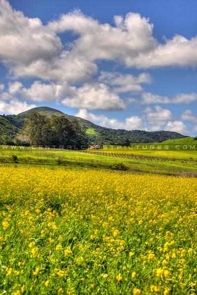 slo barn yellow flowers_5991