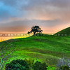 oak tree sunset 8376-