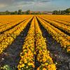 edna flower field 2743