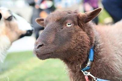 15 nervous goat