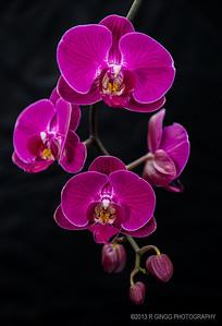 Orchid rebirth 1