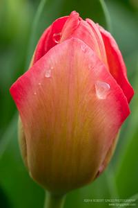 2014 Tulips 2