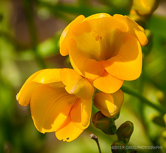 Freesia Bloom
