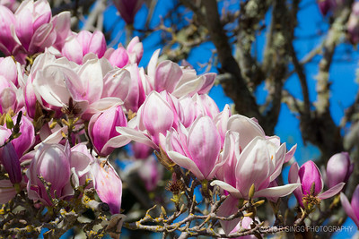 Tulip Tree That time of year again.
