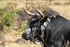 Majestic Nguni Cattle resting in the foothills of the Drakensberg along the Midland meader Dargle, KwaZulu-Natal