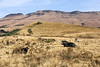 Nguni Cattle resting in the foothills of the Drakensberg along the Midland meader Dargle, KwaZulu-Natal. Inhlosane Mountain in the background