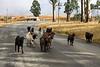 Wandering Goats, KwaZulu-Natal
