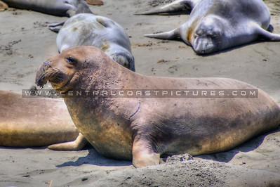 san simeon elephant seals 9329