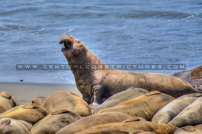 san simeon elephant seal 9316