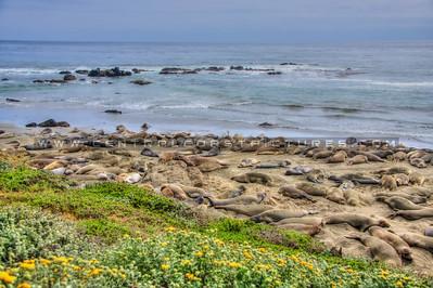 san simeon elephant seals 0153-