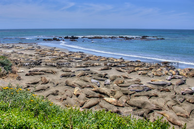 san simeon elephant seal 9315