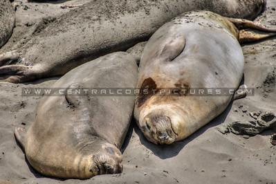 san simeon elephant seals 9325