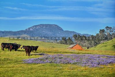 san simeon barn cows 9710