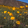 California, Anza-Borrego Desert State Park, Super Bloom 2017
