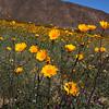 California, Anza-Borrego State Park, Yellow Desert Dandelions