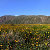 Desert in Bloom, Borrego Springs, CA