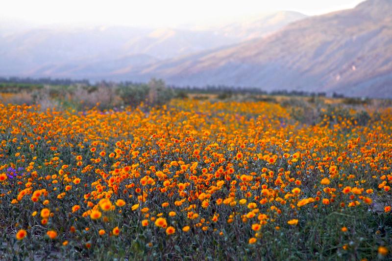 Anza borrego desert state park borrego springs ca san diego borrego springs ca yellow wildflowers in bloom mightylinksfo Images