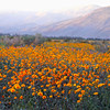 Borrego Springs,  Ca., Yellow Wildflowers in Bloom