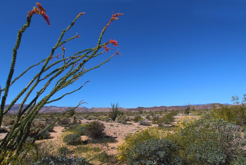 California, Anza-Borrego Desert State Park, Super Bloom 2017