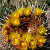 Anza-Borrego Desert State Park, Borrego Springs, CA, Barrel Cactus