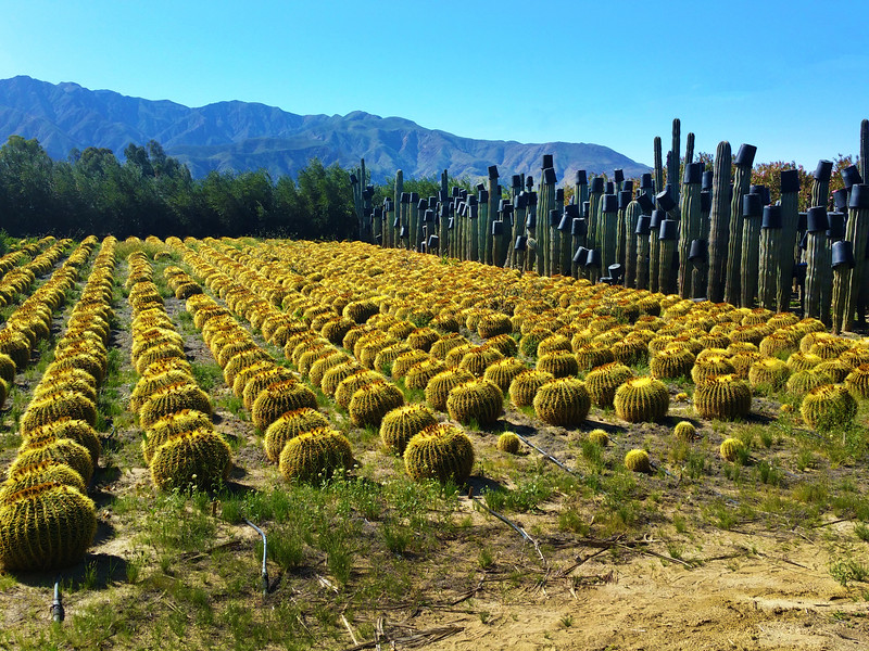 Borrego Springs California, Cactus Farm