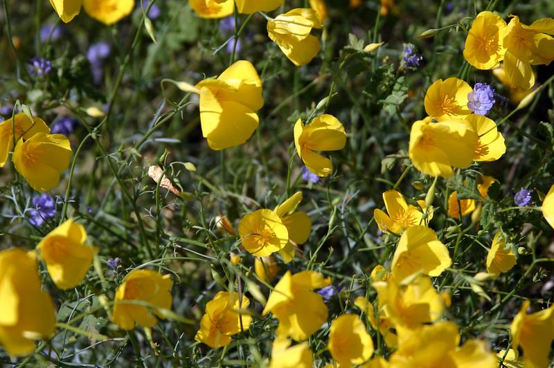 Anza-Borrego Desert State Park, Desert Poppies