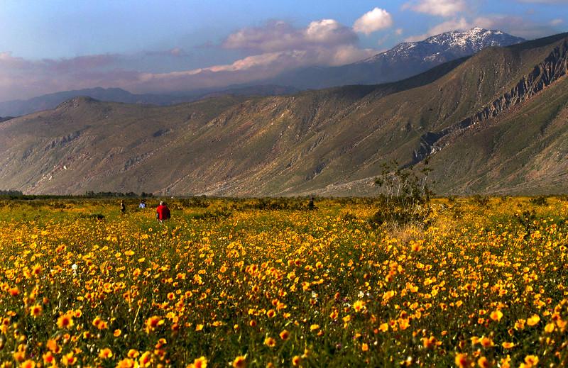 Anza borrego desert state park borrego springs ca san diego desert in bloom borrego springs ca mightylinksfo Images