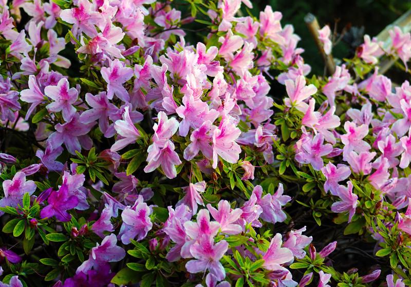 San Diego, Balboa Park Japanese Friendship Garden, Azaleas in Bloom