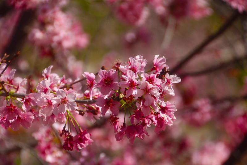 San Diego, Balboa Park Japanese Friendship Garden, Cherry Blossoms