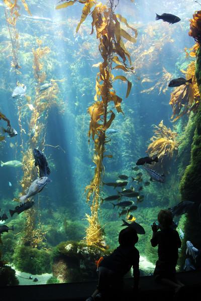 Scripps Aquarium La Jolla, Kelp bed with sea life