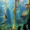 Scripps Aquarium La Jolla, Kelp bed with sea life