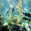 Birch Aquarium at Scripps, Child Viewing Fish