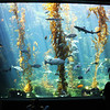 Birch Aquarium at Scripps, Kelp Forest Tank