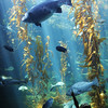 Birch Aquarium at Scripps, vert, Child at Kelp Forest Tank