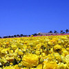 Carlsbad Flower Fields, Field of Yellow