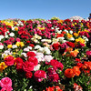 Carlsbad Flower Fields, Sea of Ranunculus
