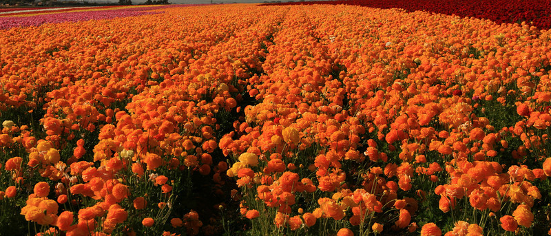 Carlsbad Flower Fields, Sea of Orange Ranunculus