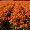 Carlsbad Flower Fields, Sea of Orange Ranunculus