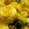 Carlsbad Flower Fields, Yellow Ranunculus