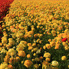 Carlsbad Flower Fields, Lone Red Ranunculus