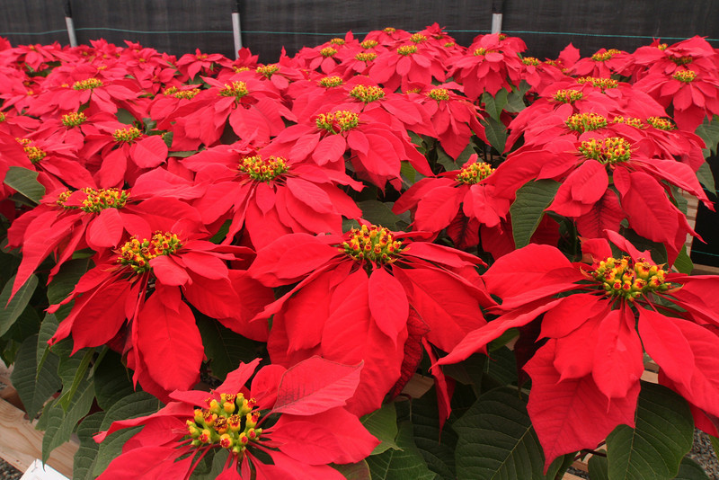 Carlsbad Flower Fields, Red Poinsettias