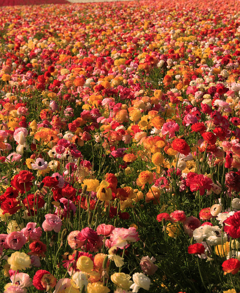 Carlsbad Flower Fields, Mixed Colors of Ranunculus