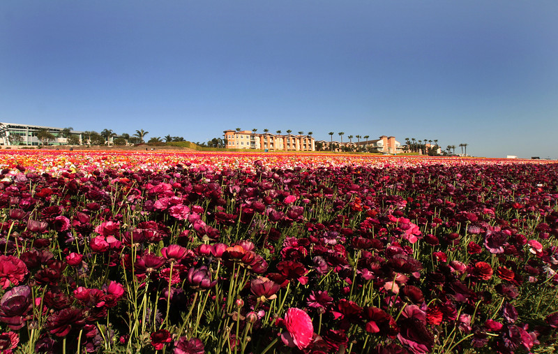 Carlsbad Flower Fields & Grand Pacific Palisades Resort