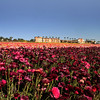 Carlsbad Flower Fields & Grand Pacific Palisades Resort