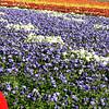 Flower Fields, Photographer & Blooms