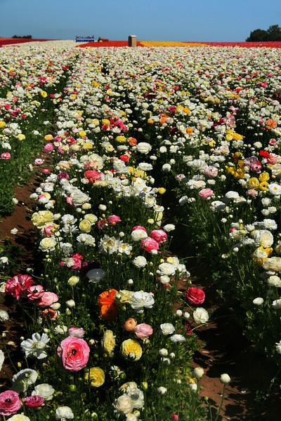 Carlsbad Flower Fields, Sea of White Ranunculus Flowers