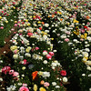 Carlsbad Flower Fields, Sea of White Ranunculus Flowers